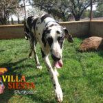 Villa Siesta Pet Retreat - Harlequin Great Dane