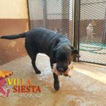Villa Siesta Pet Retreat - Lizzy the Labrador sure loves her teddy bears
