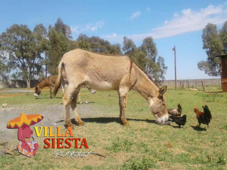 Villa Siesta Pet Retreat - Donkey Diaries - Charlie