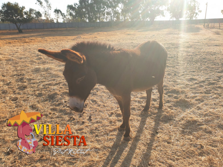 Villa Siesta Pet Retreat - Donkey Diaries - Jesebel