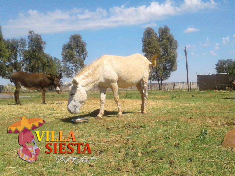 Villa Siesta Pet Retreat - Donkey Diaries - Snowy