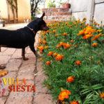 Villa Siesta Pet Retreat - Min Pin Flowers
