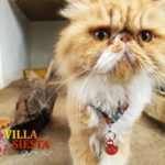 Villa Siesta Pet Retreat - Sweet Jessica Persian cat