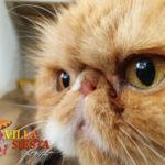 Villa Siesta Pet Retreat - Jessica Persian cat close up