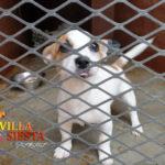 Villa Siesta Pet Retreat - Spot is one cute Jack Russell Terrier puppy