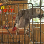 Villa Siesta Pet Retreat - Beautiful African Grey Charlie