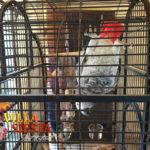 Villa Siesta Pet Retreat - Fun African Grey parrot hanging upside down