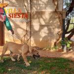 Villa Siesta Pet Retreat - Boerboel walk on lead