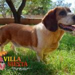Villa Siesta Pet Retreat - Basset Hound getting exercise