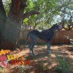 Villa Siesta Pet Retreat - Great Dane in exercise run