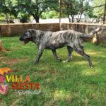 Villa Siesta Pet Retreat - Anatolian Shepherd playing