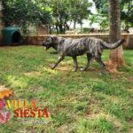 Villa Siesta Pet Retreat - Lacy Anatolian Shepherd in exercise run