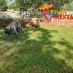 Villa Siesta Pet Retreat - Lacy the Anatolian Shepherd having fun
