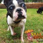 Villa Siesta Pet Retreat - Sam Boston Terrier in exercise run