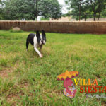 Villa Siesta Pet Retreat - Sam Boston Terrier