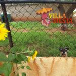Villa Siesta Pet Retreat - Scotty Dog in exercise run