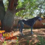 Villa Siesta Pet Retreat - Great Dane Shiva getting exercise