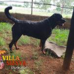 Villa Siesta Pet Retreat - Rafa is one huge playful Rottweiler