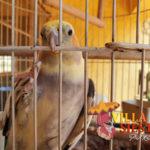 Villa Siesta Pet Retreat - Sweet Cockatiel climbing
