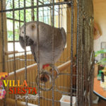 Villa Siesta Pet Retreat - Leroy the African Grey Parrot