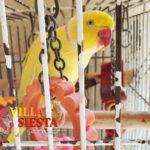 Villa Siesta Pet Retreat - Yellow Ringneck Parrot