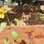 Villa Siesta Pet Retreat - German Shepherd Jango