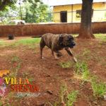Villa Siesta Pet Retreat - Cujo the Staffie