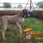 Villa Siesta Pet Retreat Luna the beautiful Weimaraner