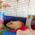 Villa Siesta Pet Retreat - Cute Guinea Pig Cinnamon