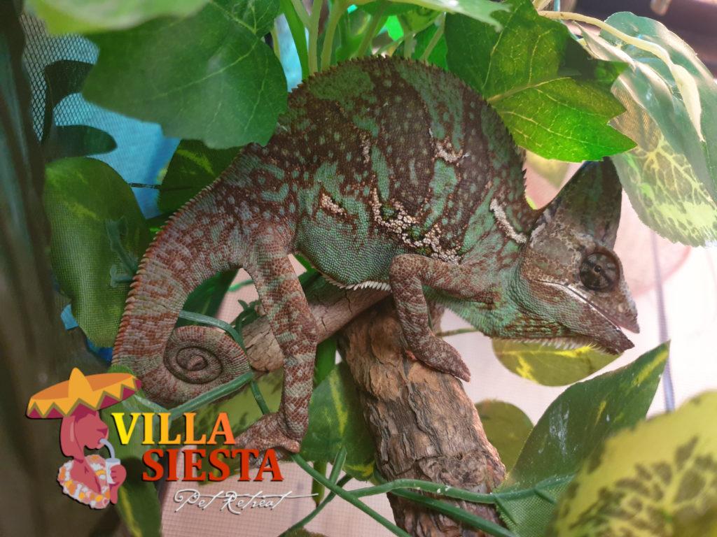Villa Siesta Pet Retreat - Retile Veiled chameleon